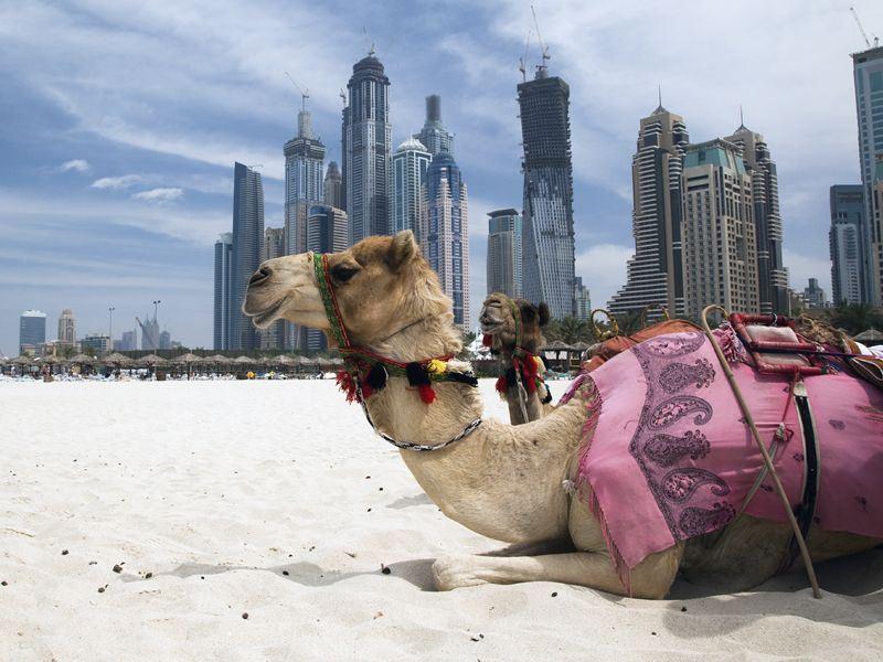 dubai-camel-on-the-beach